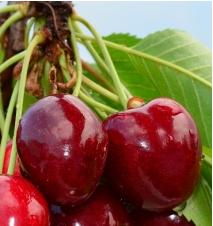 Germersdorfi orias cseresznye