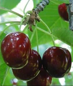 Hedelfingeni orias cseresznye