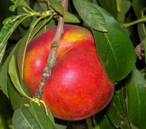 flavortop nektarin