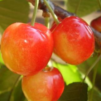 vega sarga husu cseresznye