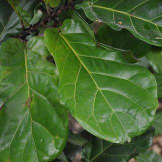 Ficus-lyrata-leaves