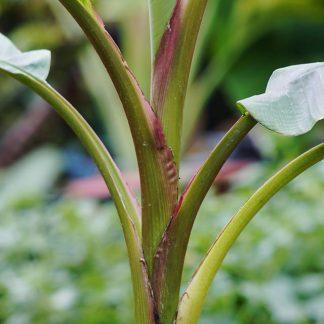 Musa velutina (pink banán)