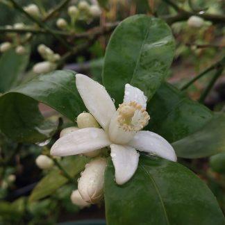 citrom virág1
