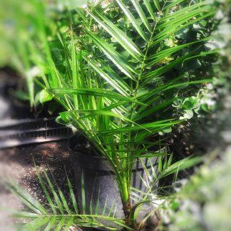 Főnix pálma
