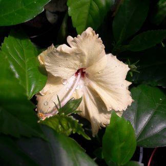 Hibiscus Peach-01