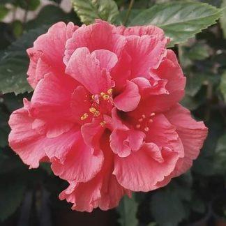 Hibiscus rosa sinensis Zaragonza