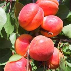 Orangered-bhart-kajszibarack