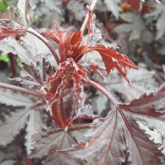Hibiscus acetosella_compress5