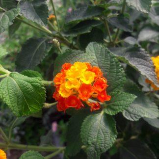 Sétányrózsa narancs-piros_compress92